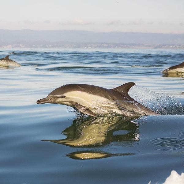 MSI HSEQ Environment Dolphin